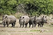 White Rhino Foursome