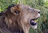 Lion Male Dozing