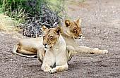 Lioness Pair