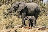 Elephant Female with Youngster