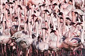 Lesser Flamingo Flock, Close-up