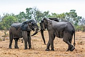 Elephant Pair Squaring Up
