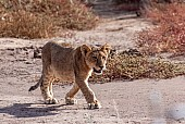 Lion Cub Walking Along Sand Track
