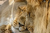 Lion Pair Nuzzling Affectionately