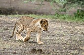 Lion Cub Walking Across Open Ground