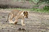 Lion Cub Walking Across Open Ground