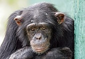 Captive Chimpanzee