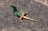 Colourful Lizard on Rock