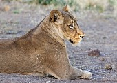 Lioness Side-on