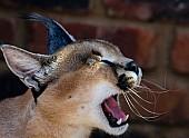 Caracal Yawning
