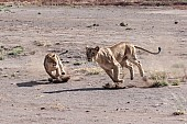 Lioness Teaching Youngster to Hunt
