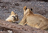 Young Lions Play