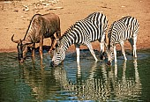Zebra Pair with Wildebeest at Waterhole