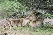 Lion Cubs with Big Male Lion