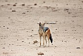 Black-backed Jackal, Three-Quarter View