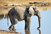 Elephant with Crocodiles in Background