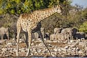 Giraffe Raising Head while Drinking