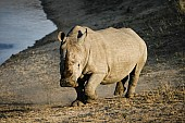 White Rhino Arriving at Waterhole