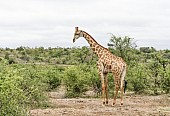Giraffe in Open Ground