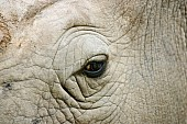 White Rhino, Extreme close-up