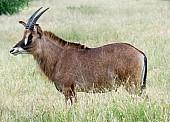 Roan Antelope Male