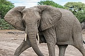 African Elephant Striding Out