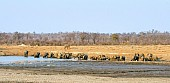 Elephant Herd Drinking, Panaromic View