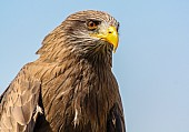 Close-up of Yellow-billed kite