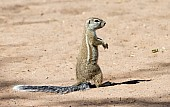 Cape Ground Squirrel on Hind Legs