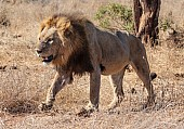 Male Lion Stepping Through Open Grassland