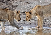 Young Lions Facing Off
