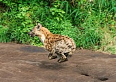 Spotted Hyena at Speed
