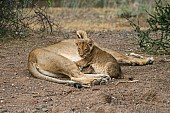 Lioness and Alert Cub