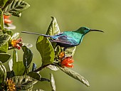 Malachite Sunbird on Wild Pomegranate