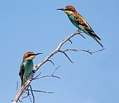 European Bee-eaters perching on twig