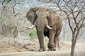 Elephant Male Walking