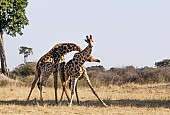Giraffe Males Neck-Slamming