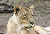 Lioness Head Shot