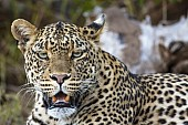 Big Male Leopard