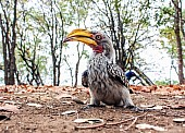 Southern Yellow-billed Hornbill, Bird's Eye View