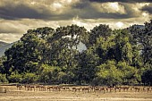 Impala Herd with Storm Clouds