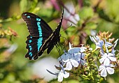 Blue-banded Swallowtail Butterfly Settled on Flower
