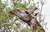 Giraffe wrapping togue around leaves and twigs