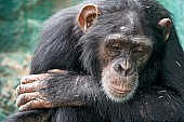 Chimpanzee Looking Pensive