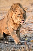 Male Lion Getting to His Feet