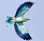 European Roller in Flight