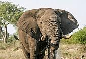 Elephant Bull Drinking at Waterhole