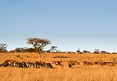 Acacia Trees and Wildlife