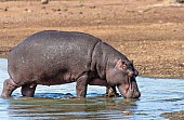 Hippo walking in shallows