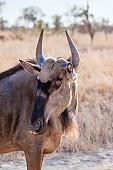 Blue Wildebeest, Head and Neck